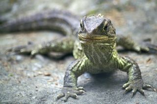The tuatara, an iconic New Zealand reptile.