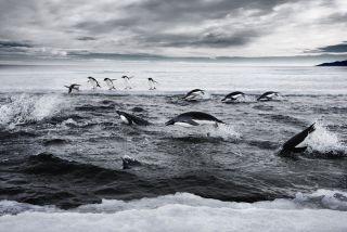 Adelie penguins in Antarctica's Ross Sea.