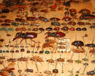 Alfred Russel Wallace's bug collection