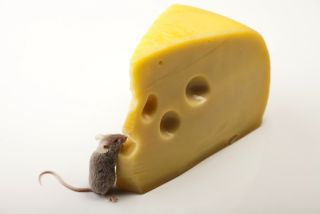 Little mouse eating cheese
