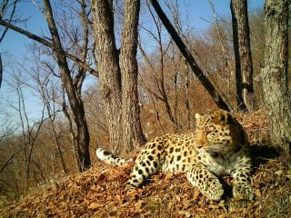 A healthy Amur leopard reclines in the park where the sick leopard was found.