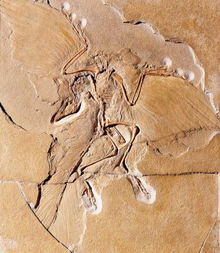 Archaeopteryx: Facts about the Transitional Fossil | Live