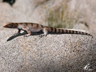 An artist's restoration of what the last monitor lizard in Europe might have looked like. A new fossil reveals this group survived in Greece less than a million years ago.