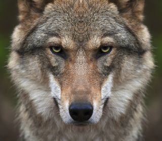 European wolf glowering into camera