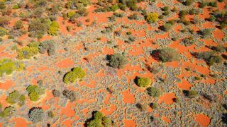 The active formation of nearly circular grassland gaps (fairy circles), as seen from a helicopter.