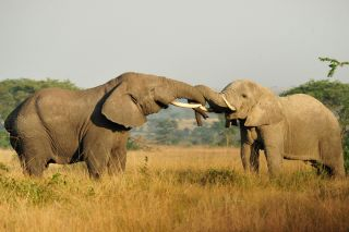 Two African elephants, ivory