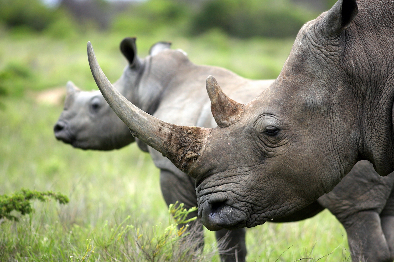 Do Elephant Tusks Or Rhino Horns Ever Grow Back Live Science