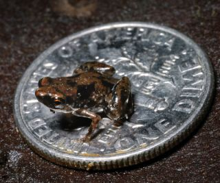 Miniature frog is the worlds smallest vertebrate, or animal with a backbone.