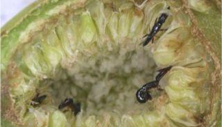 wasps, figs, nature