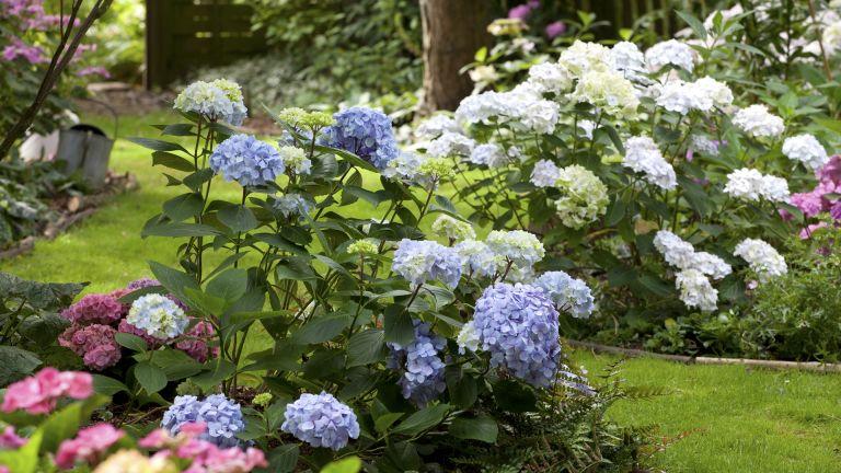 Monty Don's hydrangea pruning tips