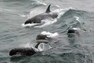 Type D whales could be a new species of killer whale.