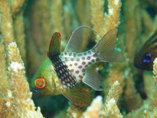 pajama-cardinal-fish-101210-02
