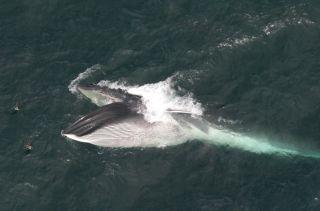 A fin whale feeding.