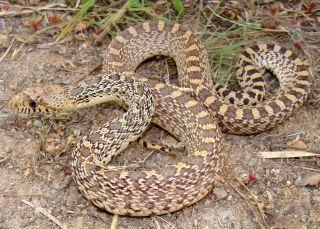 bullsnakes, gopher snakes