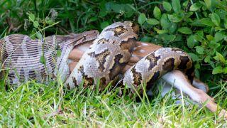 Indian Python swallowing a Spotted Deer, Yala National Park Sri Lanka.