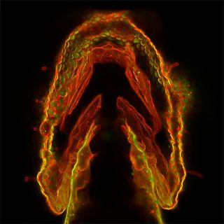 zebrafish embryo illuminated with glycan sugars