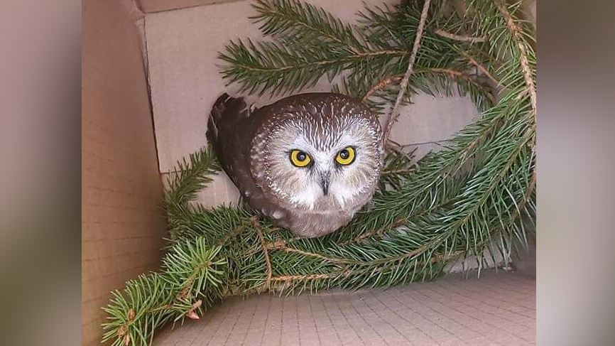 Saw-whet owls are forest birds; They often sleep in pine tree cavities during the day to avoid predators, and then hunt at night.