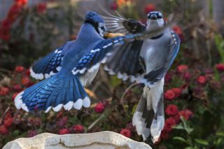 Two blue jays fight over a peanut.
