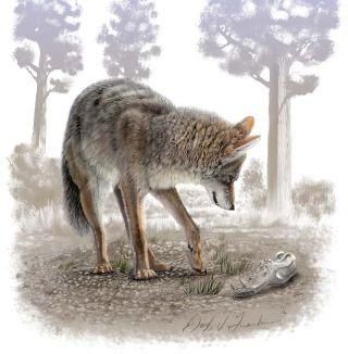 A modern coyote and a Pleistocene coyote skull.