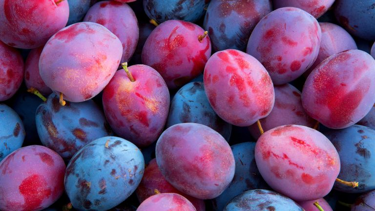 how to grow plums - Victoria and Brooks plums at harvest