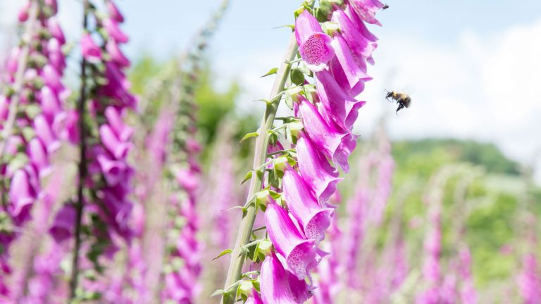 foxgloves with bee flying towards it