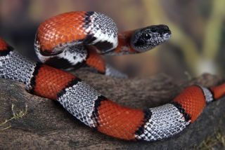 A red, black and white coral snake.