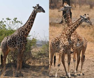 When male giraffes reach about 9.4 years of age, their once light spots (see right) have darkened to coal-black (left), researchers have found.