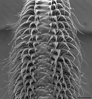 Erectile tissue on nectar bat tongue