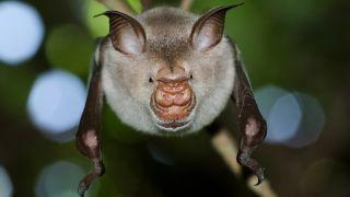 Striped leaf-nosed bat, Macronycteris vittatus on the branch.