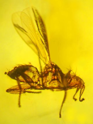 bat fly fossil