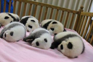 cute baby animals, giant panda cubs