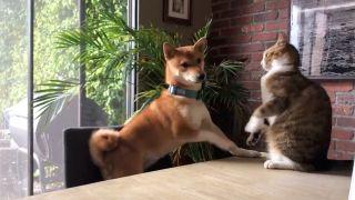 Cat knocks dog off chair