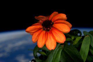First Zinnia in Space