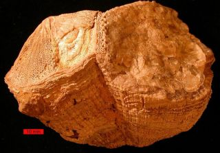 Fossils of rudist bivalves such as this one (<em>Vaccinites</em>) discovered in the United Arab Emirates' Al-Hajar Mountains, provide valuable insight into what life was like millions of years ago.