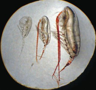 copepods, life in arctic seas, arctic expeditions, arctic life, north pole life, arctic ocean life, phytoplankton, zooplankton, arctic seas, earth, environment, animals, arctic ocean in winter