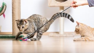 How to play with a cat. Two cats playing with a feather toy