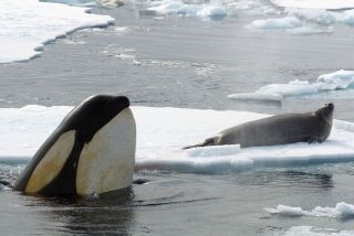 animals, killer whales, animal migrations, Killer Whale Migration, Antarctic Animal Adaptations, whales shedding skin, orcas in the Antarctic, killer whales tropics, killer whales migrate to tropics, killer whales south America, life in freezing waters, a