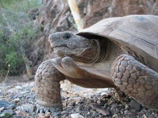 This is a Morafka's Desert Tortoise (Gopherus morafkai), from Tiburon Island, Sonora, Mexico. Little does it know it could hear better underwater.
