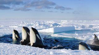 Killer Whales in Frozen Planet