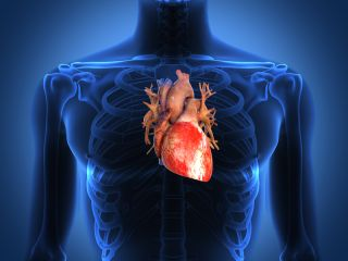 A diagram of the human heart, within the chest.