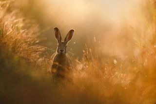 Wildlife photographer wins photo competition with incredible shot of a hare