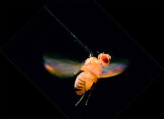 How Fruit Flies Find Your Wine | Live Science