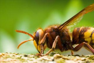 Hornet, parasite home