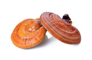 The Lingzhi mushroom (Ganoderma lucidum)
