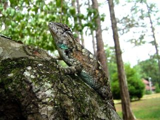 Female fence lizard with blue