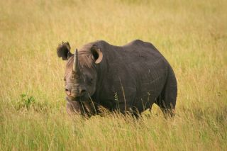 A black rhino standing in the grass in Masai Mara, Kenya.