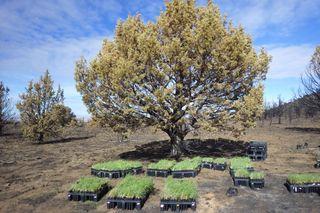 Bluebunch wheatgrass for Steens Mountain Range