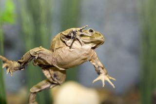 lake-titicaca-frog