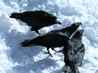 male raven gestures with its beak to two other ravens