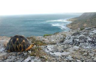 tortoise, turtles, ploughshare tortoise, conservation, habitat, breeding, threatened species, endangered species, madagascar
